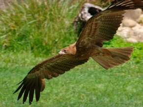 tesskou_eagle