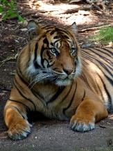 tesskou_tiger