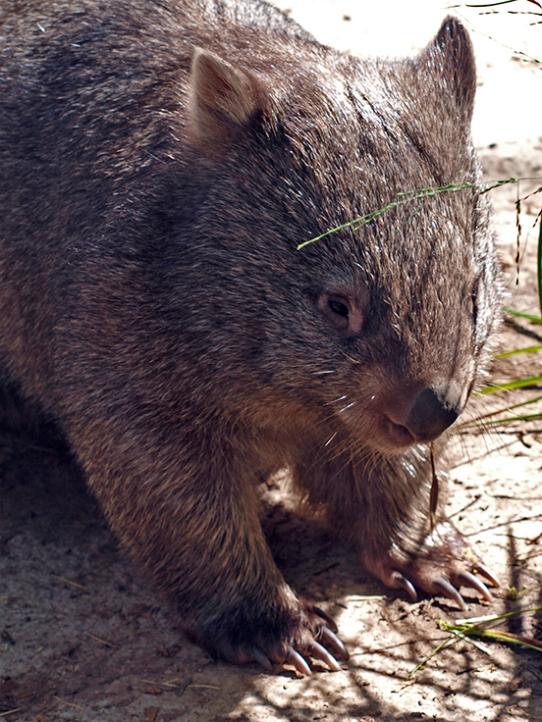 tesskou_wombat